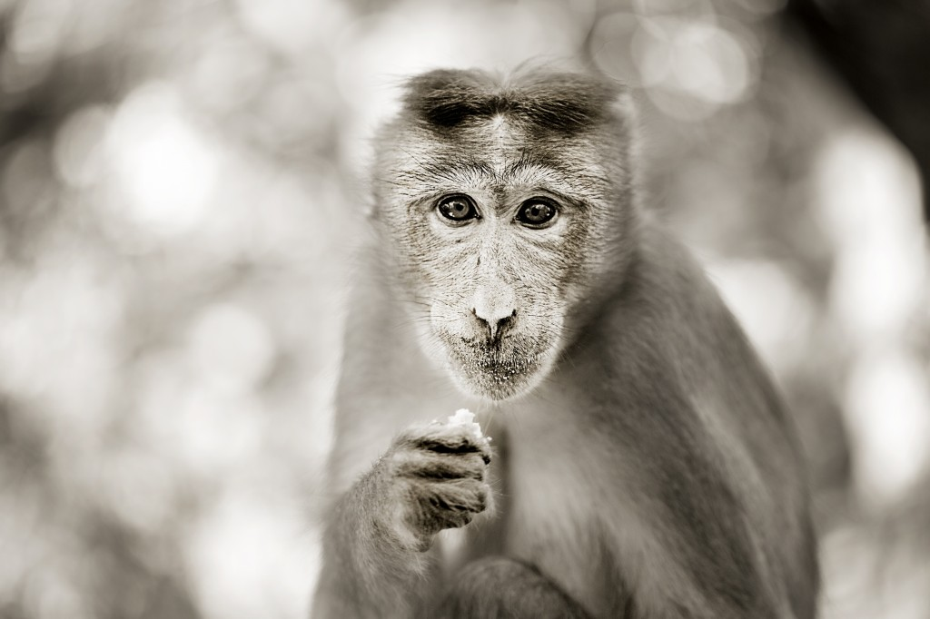 Monkey SP 2 SM